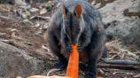 Ualabí se alimenta con una zanahoria tras incendios