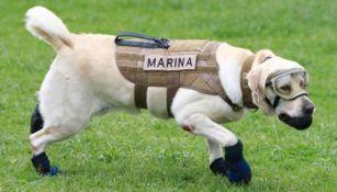 La perrita Frida durante un entrenamiento con la Marina